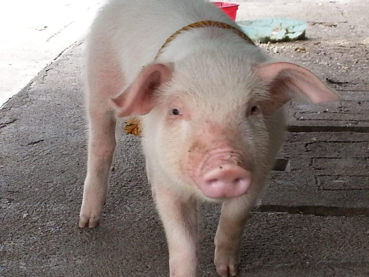 豚 飼育中