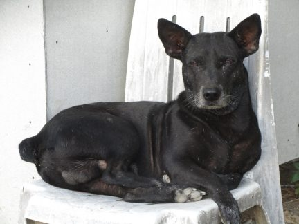 black jack dog